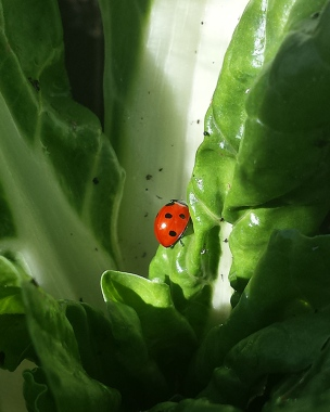 busy lady beetle on chard
