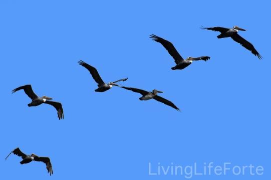 pelican00