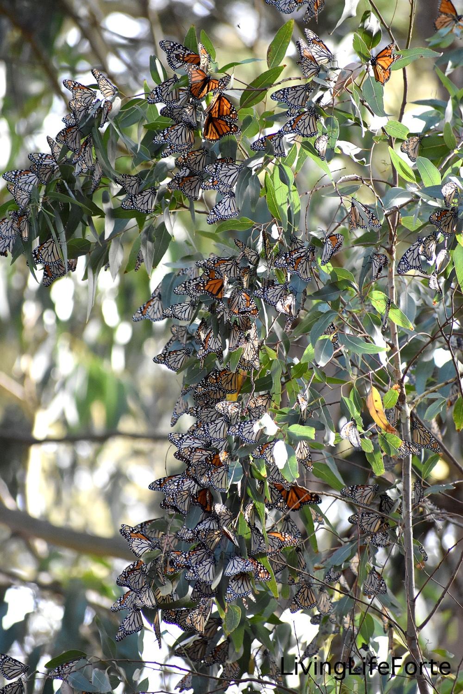 monarchs.november